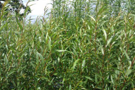 Chermesina Cardinalis willow cuttings