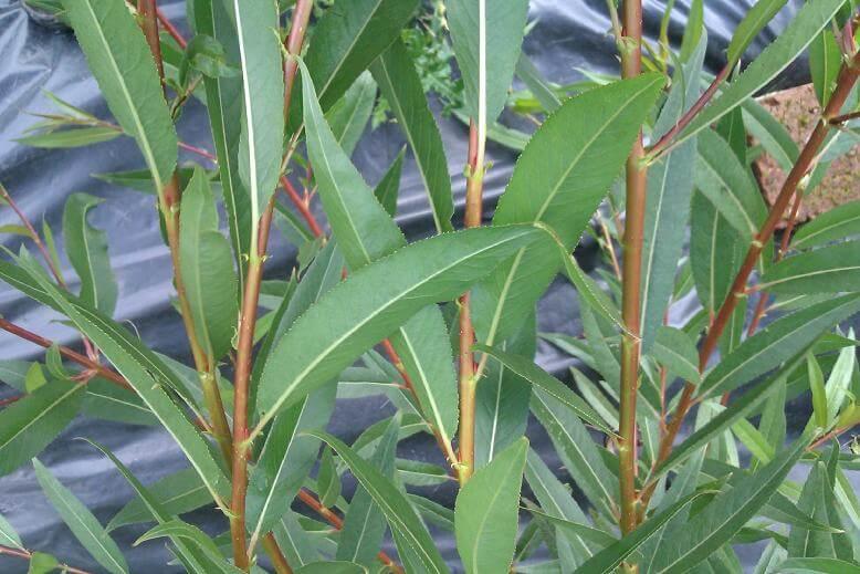 Close up of Chermisina Cardinalis