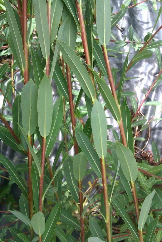 Close up of Green Dicks
