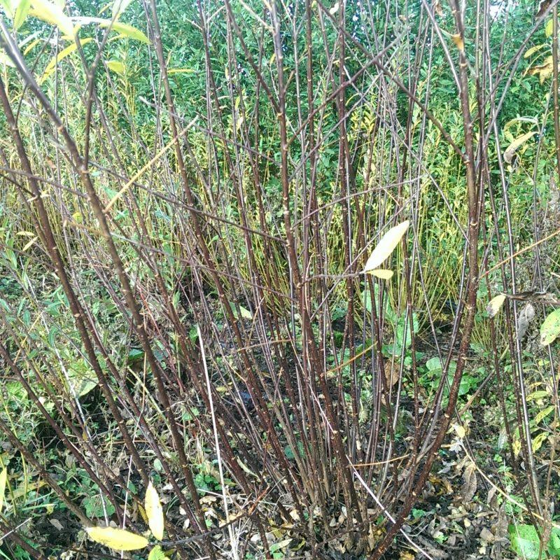 Harrisons B willow cuttings