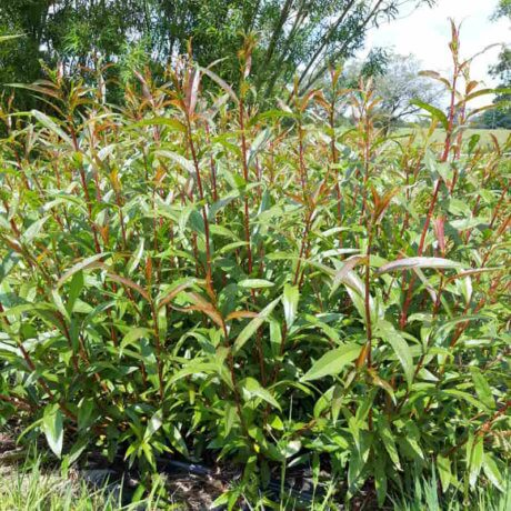 Jaune de falaise willow cuttings